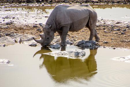 pozo de agua: rhino and its reflection drinking at the waterhole Foto de archivo