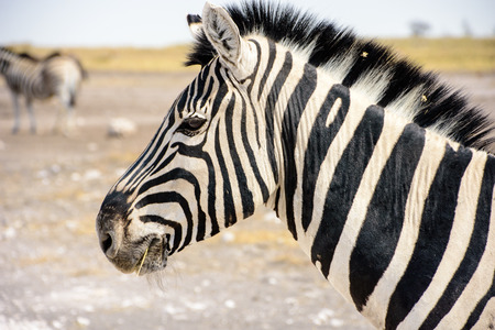 face close up: close up of the face of a Zebra