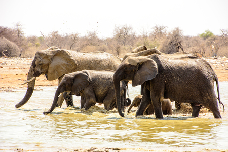 Elephants wading through the waterhole,drinking as they go Stock Photo