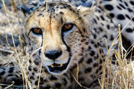 face close up: Close up of the face of a Cheetah