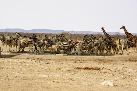 pozo de agua: Zebra spooked at the waterhole Foto de archivo