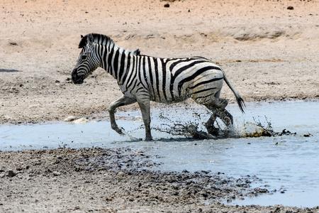 pozo de agua: Zebra paddling in a waterhole Foto de archivo