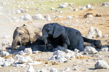 big 5: Baby elephants laying down in the dust