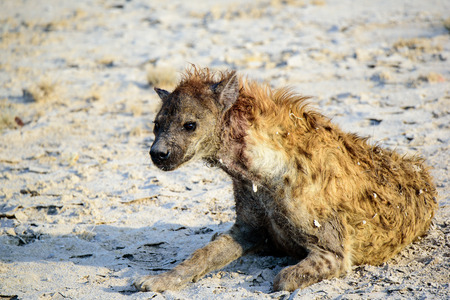 bloodied hyena at close quarters