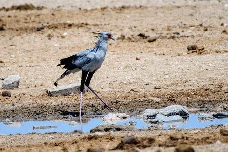 waters edge: Secretary bird on the waters edge
