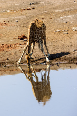 Giraffe drinking at a waterhole and its reflection in the water Stock Photo