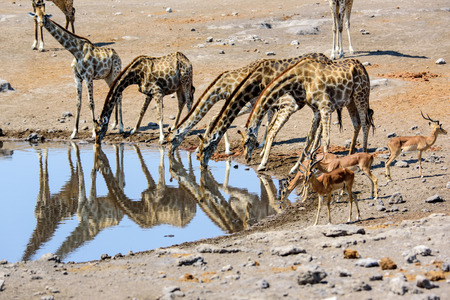 giraffes drinking and their reflections Stock Photo