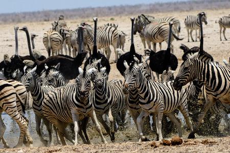 pozo de agua: nervous Zebra at a crowded waterhole