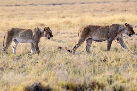 two lionesses on the prowl