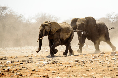 rival: Bull elephant chasing off a rival