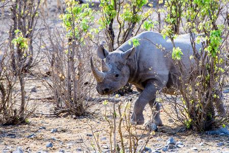 big 5: Black rhino approaching Stock Photo