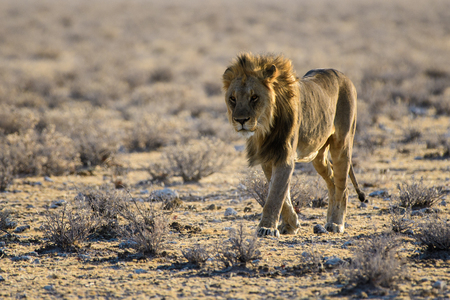 male lion on the wander