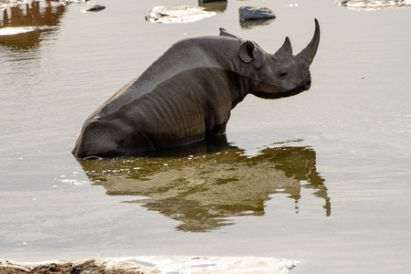 pozo de agua: rhino and its reflection in the waters of the waterhole