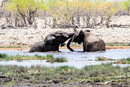 waterhole: Elephants playing in the waters of the waterhole