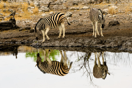 zebra and their reflections at a waterhole