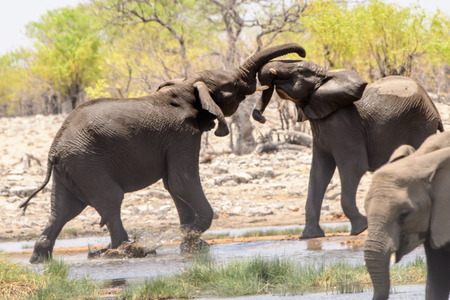 pozo de agua: Two Elephants sparring at the waterhole