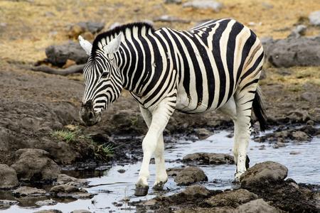 pozo de agua: Zebra leaving the waterhole