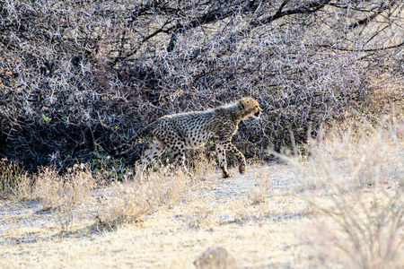 cheetah cub: Cheetah cub on the move
