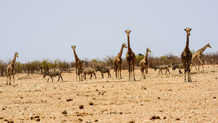 Jirafas y cebras en la naturaleza Foto de archivo