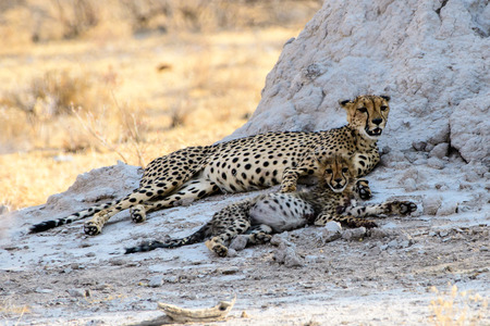 cheetah cub: Cheetah with cub resting