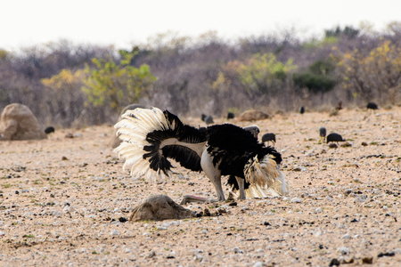 exhibiting: Male Ostrich performing a courtship dance Stock Photo