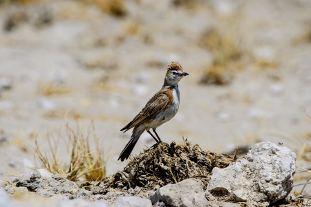 rufous: Rufous naped Lark on a rock