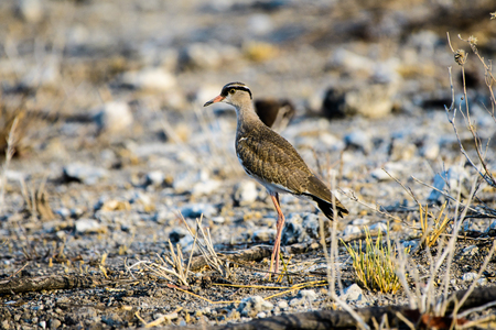 lapwing: Crowned Lapwing looking for food Stock Photo