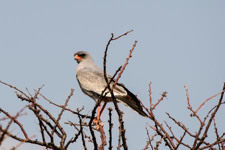 goshawk: Eastern Pale Chanting Goshawk in a tree Stock Photo