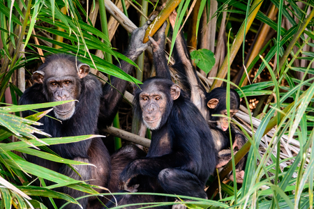 attentive: Attentive chimps Stock Photo