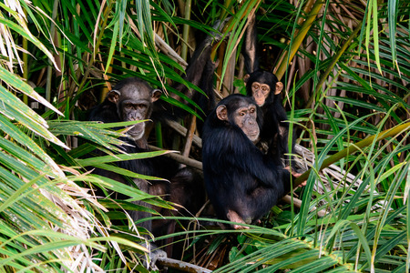 Family group of chimps Stock Photo