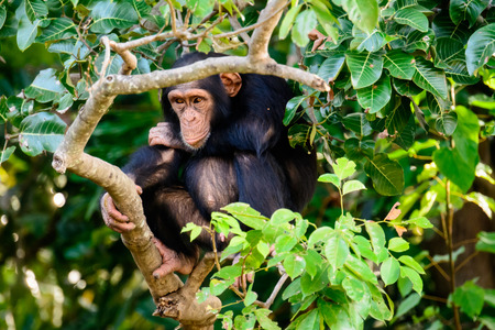 Chimp watching closely