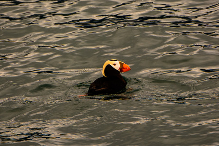 tufted puffin: Tufted Puffin floating in the sea