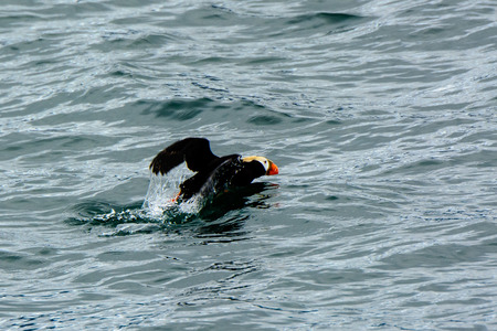tufted puffin: Tufted puffin commencing take off