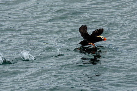 tufted puffin: Tufted puffin taking off
