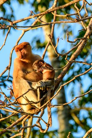 cradling: Mother proboscis monkey cradling her baby