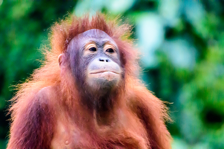 bad hair day: Young Orangutan on a bad hair day