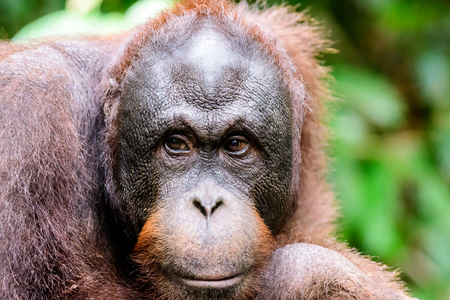 intelligent face of an orangutan. Stock Photo