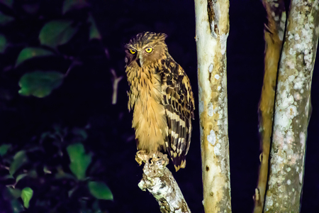 Buffy fish owl by the river