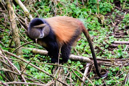 Wary golden monkey