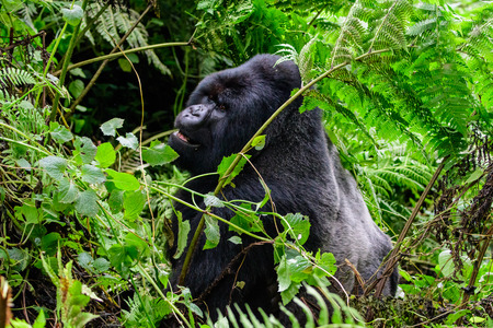 Silverback mountain gorilla feeding in the forest