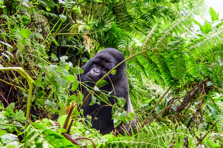 Silverback mountain gorilla in the rainforest Stock Photo