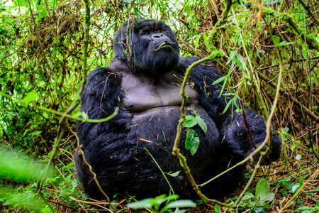 Massive silverback mountain gorilla siting in the bamboo forest