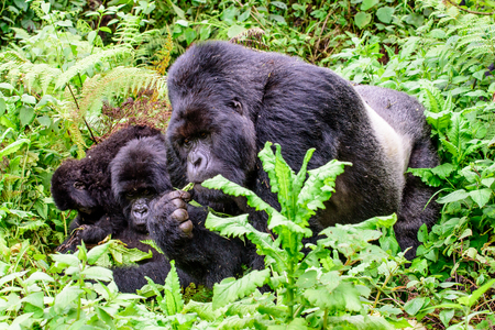 silverback mountain gorilla with family Stock Photo