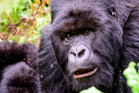 face of a silverback mountain gorilla Stock Photo