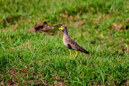 African wattled lapwing foraging Stock Photo