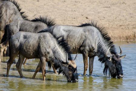 Wildebeest drinken bij een waterput