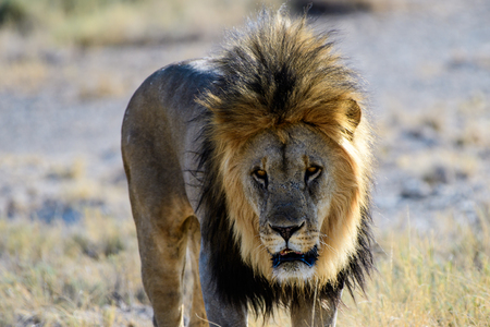 Close up of the face of a male lion Stock Photo