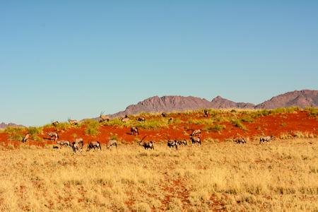 Gemsbok in a Namibian landscape Stock Photo