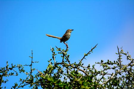 Cape mockingbird on the top of a bush