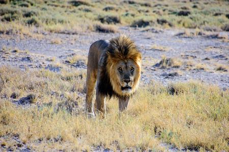 male lion approaching Stock Photo